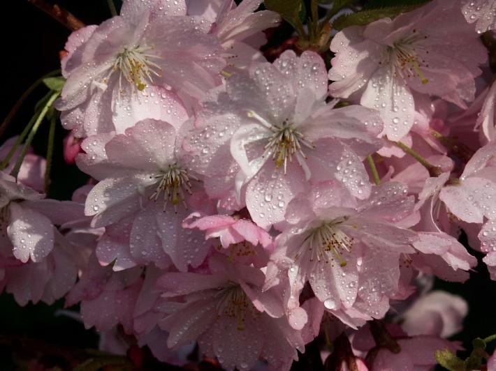 Blüte der Japanischen Zierkirsche Prunus serrulata 'Kanzan' © GartenAkademie.com