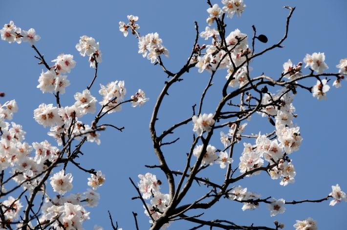 Süßmandel Prunus dulcis var. dulcis © GartenAkademie.com