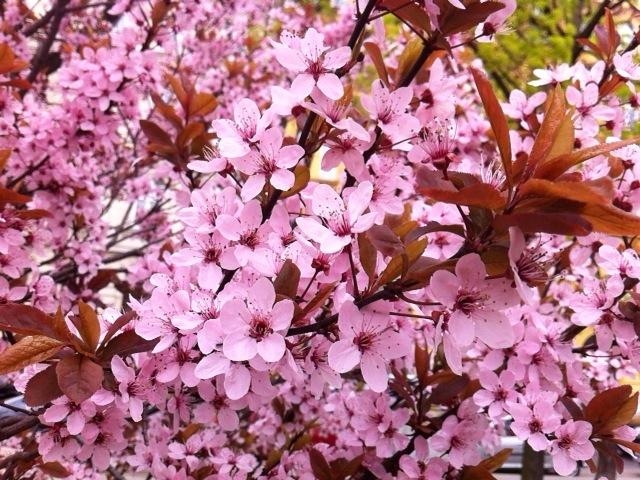 Blutpflaume Prunus cerasifera 'Nigra' © GartenAkademie.com
