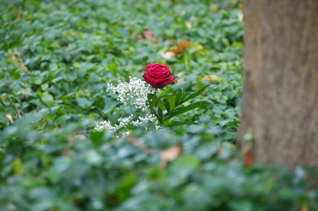 Rose auf dem Waldfriedhof © GartenAkademie.com