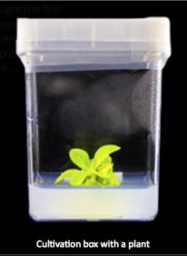 Starlight Avatar ™ Anzucht von Jungpflanzen in In-Vitro-Kultur © bioglowtech.com